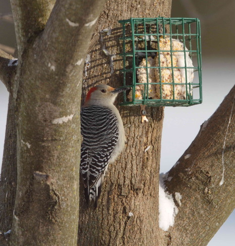 Resident Red Bellied Woodpecker Goderich, Ontario Canada