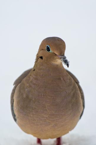 Mourning Dove Thornbury, Ontario Canada
