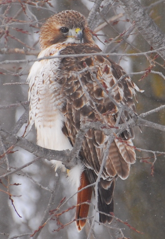 Redtail St. Marys, Ontario Canada