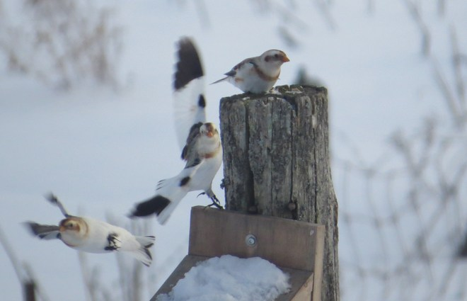 snow buntings coming in for a landing Rutherglen, Ontario Canada