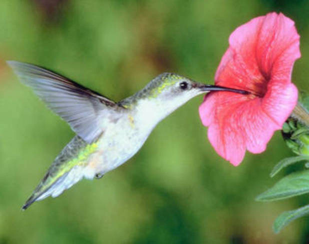 hummingbird flying in toronto and ssm Sault Ste. Marie, Ontario Canada