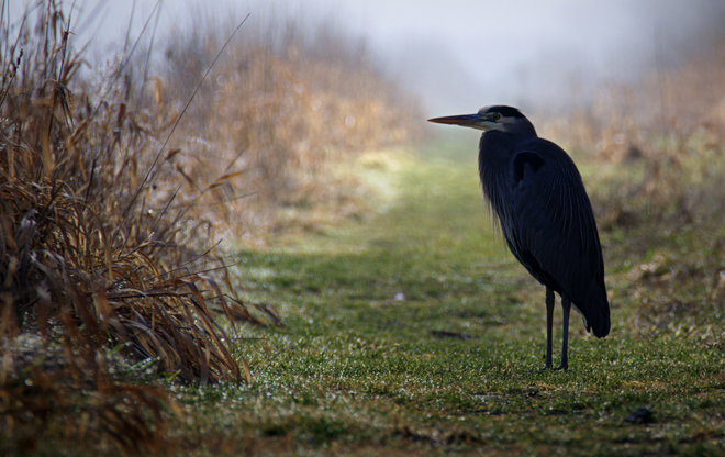 GBH In The Fog Delta, British Columbia Canada