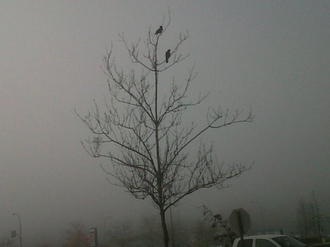 Crows in a tree in the fog. Comox Valley, British Columbia Canada