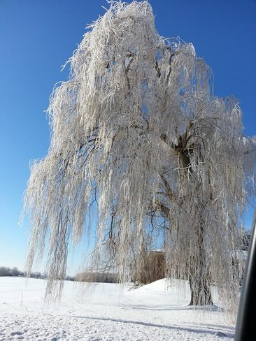 Weeping Icy Willow Thornton, Ontario Canada