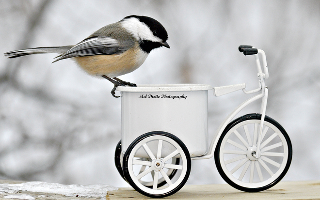 Black capped chickadee on bike. Windsor, Ontario Canada