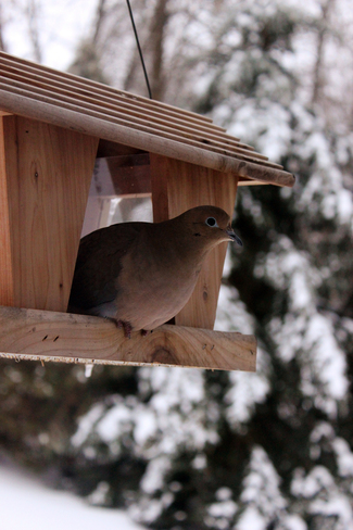 Dove Enjoying the Feeder Roseneath, Ontario Canada