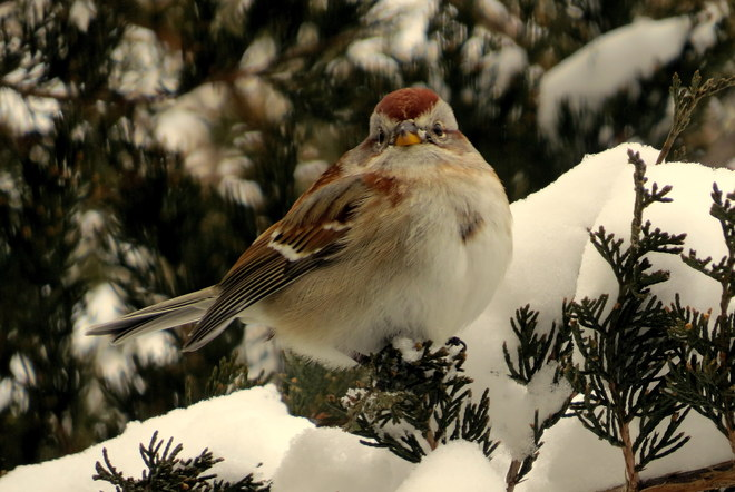 Sparrow in the Snow Hastings, Ontario Canada