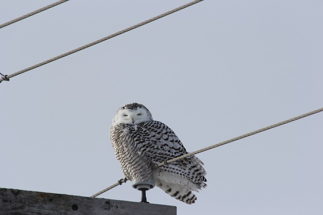 snow owl Cornwall, Ontario Canada