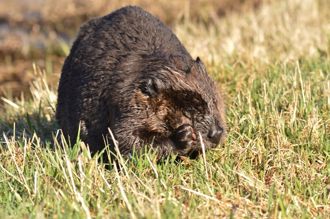 Beaver eating grass in the meadows Maple Ridge, British Columbia Canada