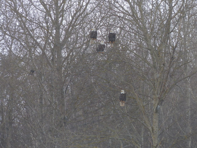 2014 Eagle Watch Kentville, Nova Scotia Canada
