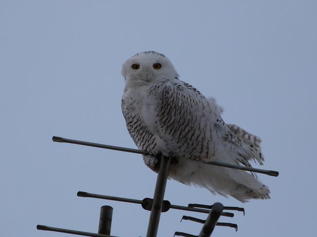 Snowy Owl Hagersville, Ontario Canada