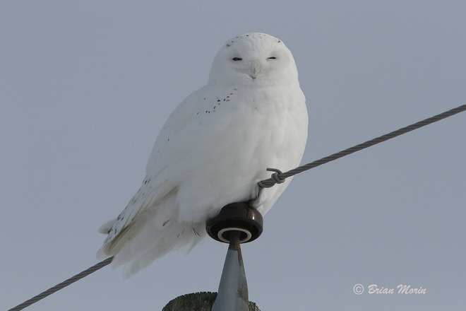This is the Snowy Owl that everyone wants to see St. Isidore, Ontario Canada
