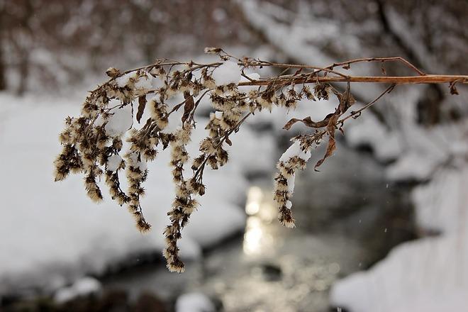 Delicate Winter Weed London, Ontario Canada