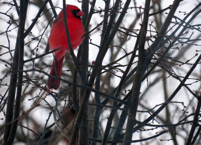Cardinal London, Ontario Canada