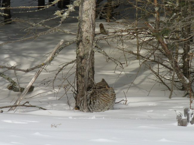 Partridge in the snow Cochrane, Ontario Canada