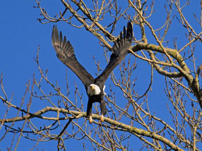 Bald Eagle Chilliwack, British Columbia Canada
