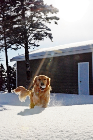 Hunter - early morning play in the fresh Cape Broyle snow