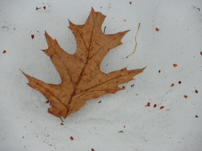 Leaf on snow Fredericton, New Brunswick Canada