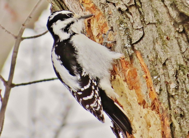 Female Hairy Woodpecker chips aways at dinner. North Bay, Ontario Canada