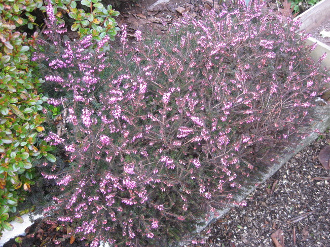 heather starting to bloom Surrey, British Columbia Canada