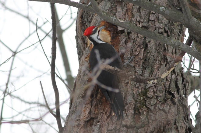 Pileated Woodpecker Metcalfe, Ontario Canada