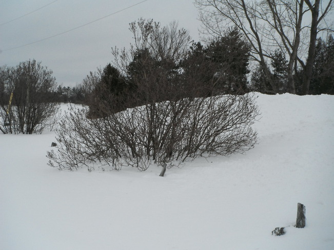 Lilacs in the snowbank Markdale, Ontario Canada