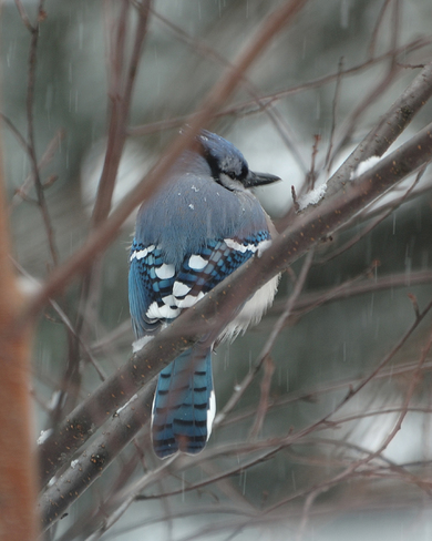 Blue Jay in the Snow Kennisis Lake, Ontario Canada