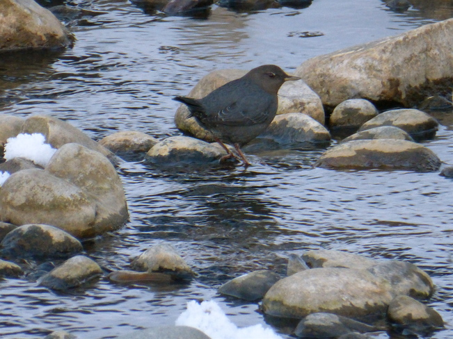 DIPPING WITH THE DIPPER Cranbrook, British Columbia Canada