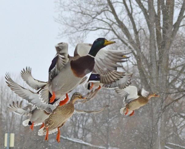 Duck Belleville, Ontario Canada