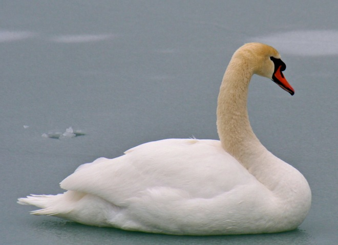 The Swan on the Lake Cobourg, Ontario Canada