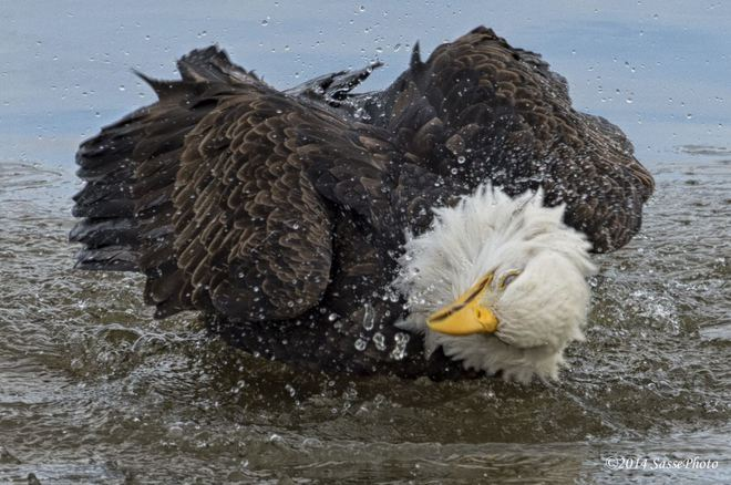 Eagle takes Bath Delta, British Columbia Canada