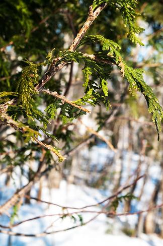 Cedar in the winter Fredericton, New Brunswick Canada
