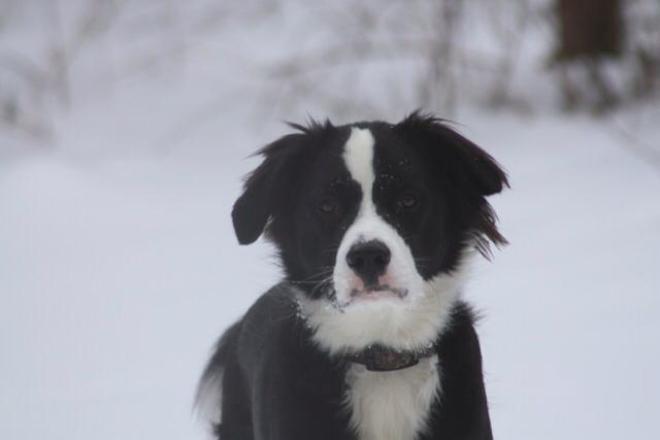 Snow dog Alliston, Ontario Canada