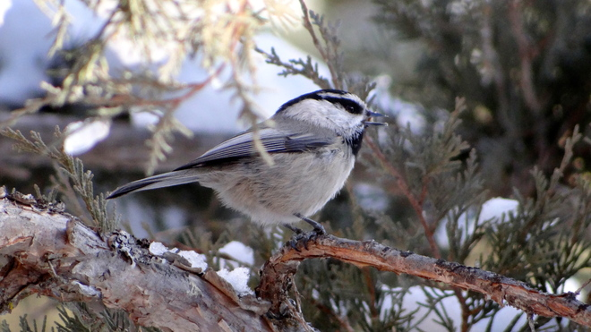 winter chickadee Kelowna, British Columbia Canada