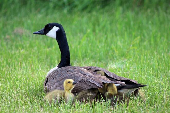 Mother goose and babies The Pas, Manitoba Canada