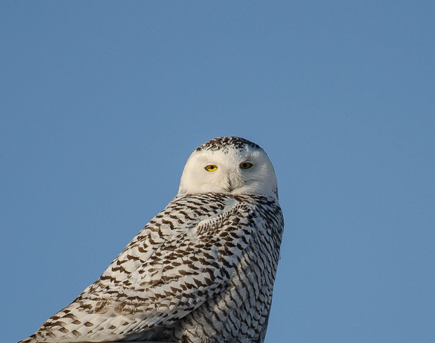 Snowy Owl Mississauga, Ontario Canada
