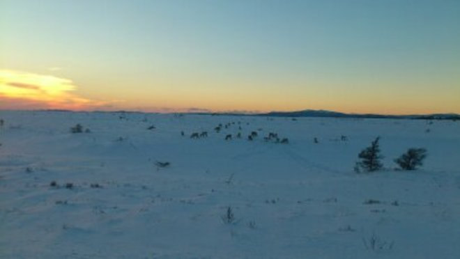 Caribou on the marsh enjoying a beautiful sunset Stephenville, Newfoundland and Labrador Canada