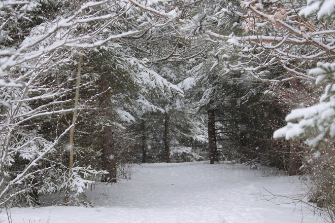 Peaceful snowfall in the woods. Kingston, Ontario Canada