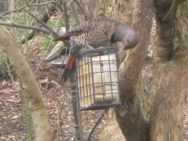 flicker 'going to it' on the suet Surrey, British Columbia Canada