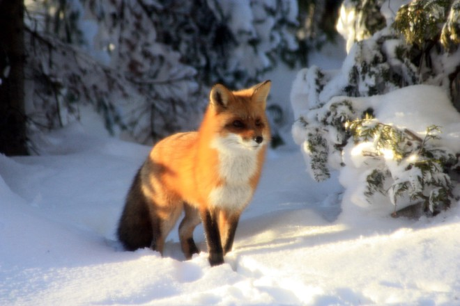 Fox travelling by the cottage between snow storms Red Bay, Ontario Canada