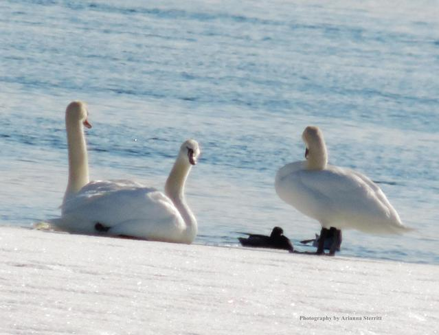 Swans on the 1000 Islands Brockville, Ontario Canada
