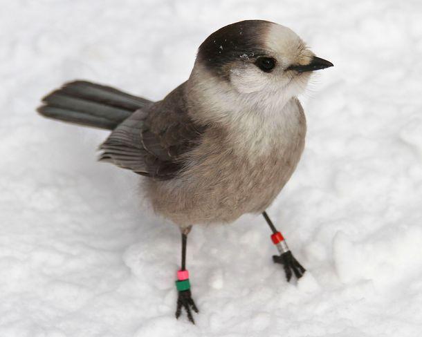Multi-banded Gray Jay Brighton, Ontario Canada