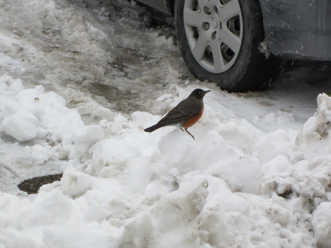early robin Kitchener, Ontario Canada