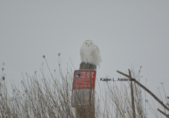 Snowy Owl protects trail Lindsay, Ontario Canada