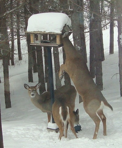 Deer Feeders Now Katrine, Ontario Canada
