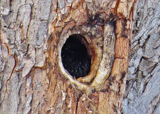 What exactly is lurking inside this tree?? North Bay, Ontario Canada