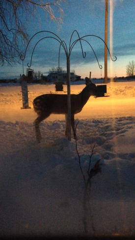First deer of the evening Neepawa, Manitoba Canada