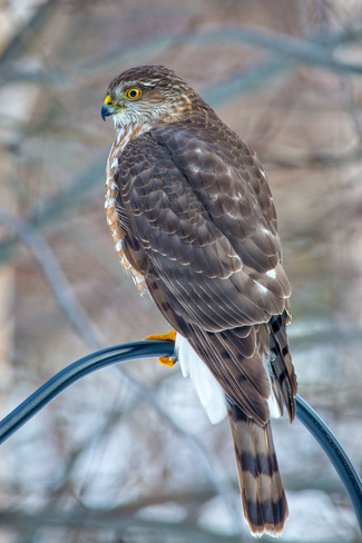 Hawk Thornbury, Ontario Canada