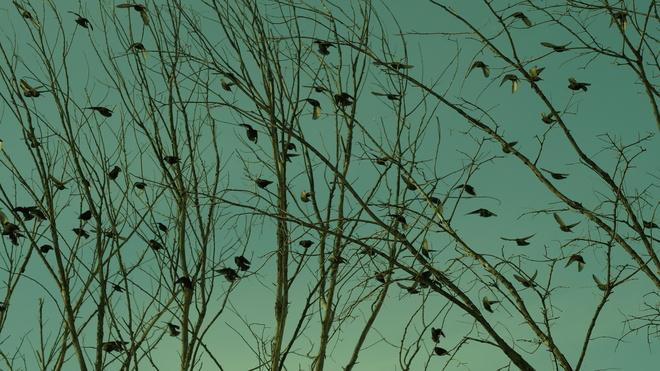 European Starlings Gather Gloucester, Ontario Canada