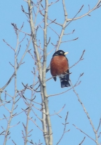This little robin is early. Quispamsis, New Brunswick Canada